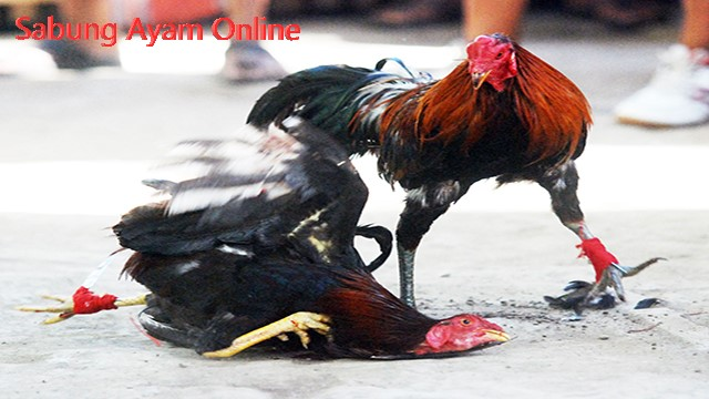 Judi Sabung Ayam Promo Bonus Deposit