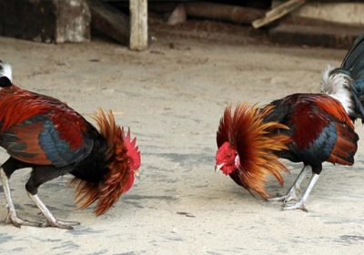 Situs S128 Sabung Ayam Terpopuler