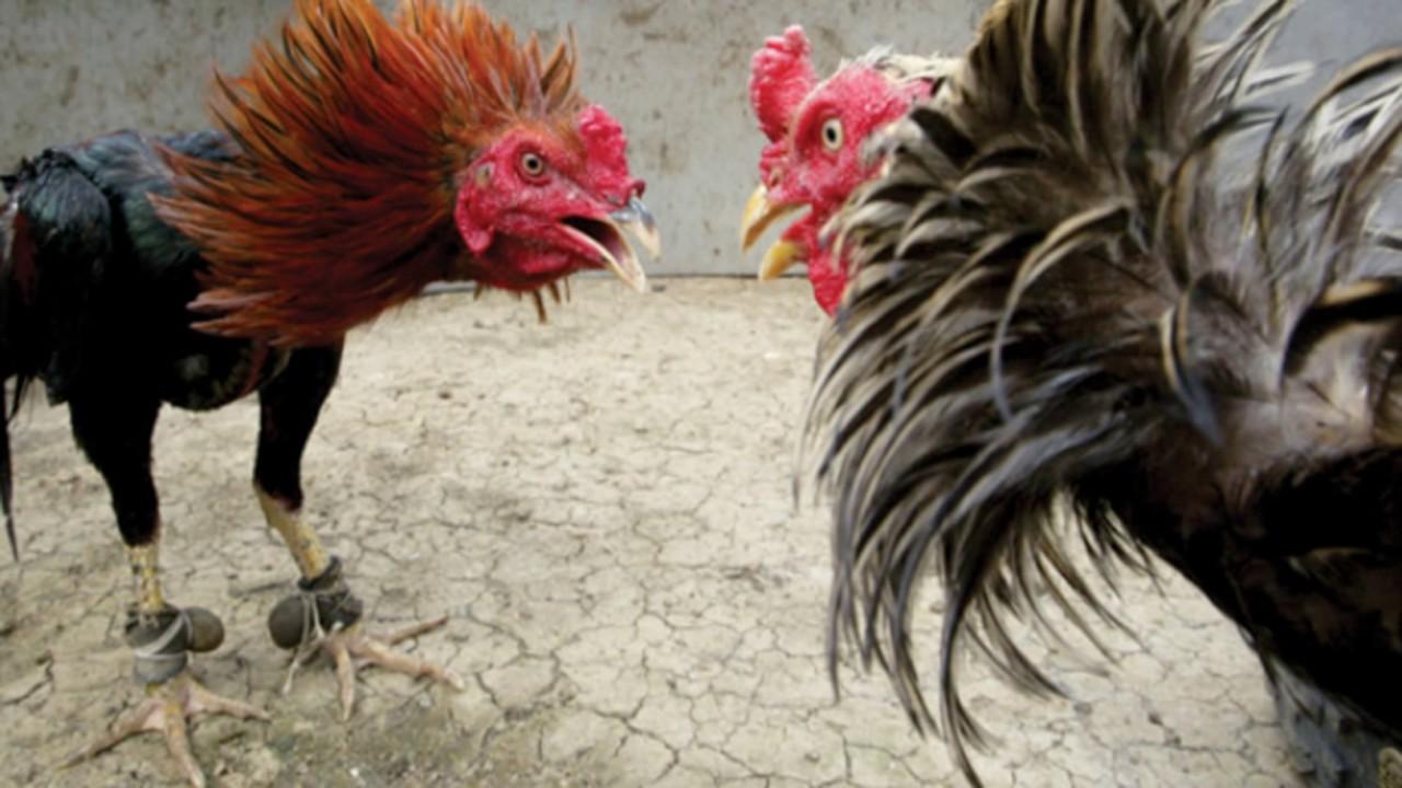 Pengertian Tentang Sabung Ayam Pukul KO