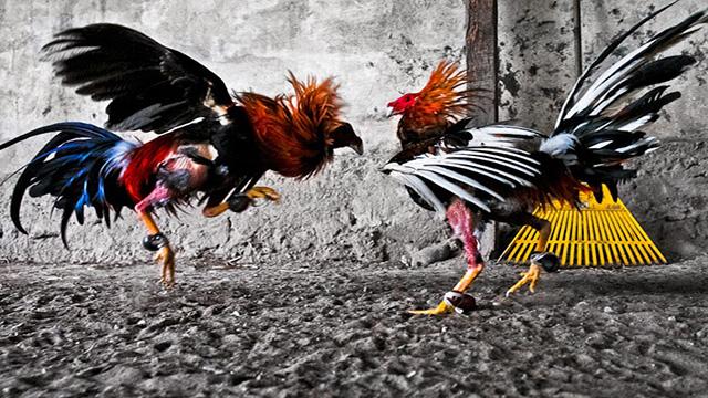 Metode Bermain Judi Ayam Online Dengan Benar